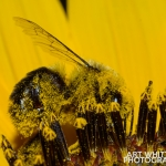 2017-Bugs-01-bee-covered-in-pollen