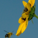 2017-Bugs-09-bee-in-flight