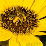 2017-Bugs-20-bee-on-flower-AJW_9818
