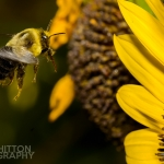 2017-Bugs-24-bee-in-flight-AJW_9899