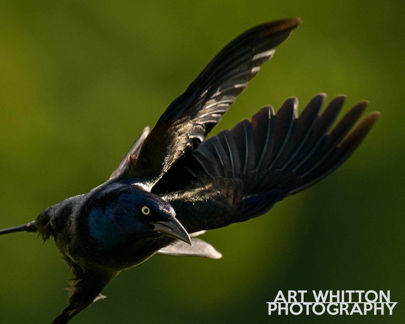 gallery of birds art whitton photography