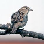 House Sparrow 008