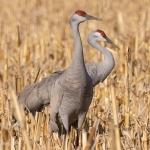 cranes in corn 04