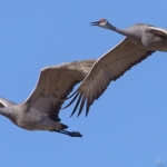 cranes in flight 07