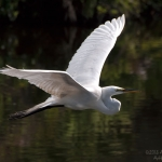 egret-in-flight