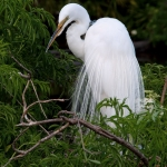 great-egret-nesting-art-whitton