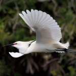 snowy-egret-in-flight-art-whitton