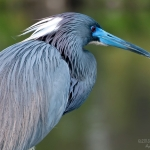 tricolored-heron-art-whitton