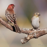 two-finches-art-whitton