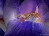 Iris-Reflection-018