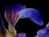 Iris-with-drops-01