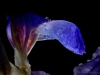 Iris-with-drops-02