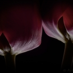 Red Tulips 03