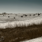Cattle in a Snow Covered Field