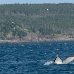 Whale Watching in Bulls Bay Newfoundland