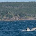 Whale Watching in Bulls Bay Newfoundland