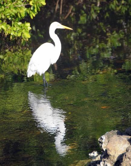 Overexposed Egret