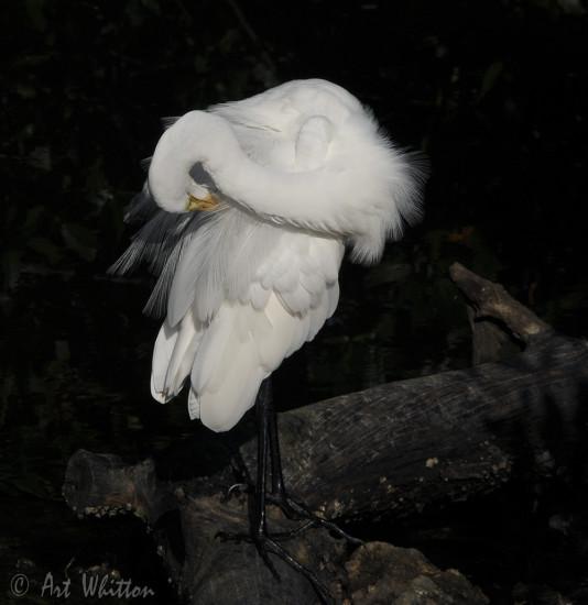 Sanibel Egret