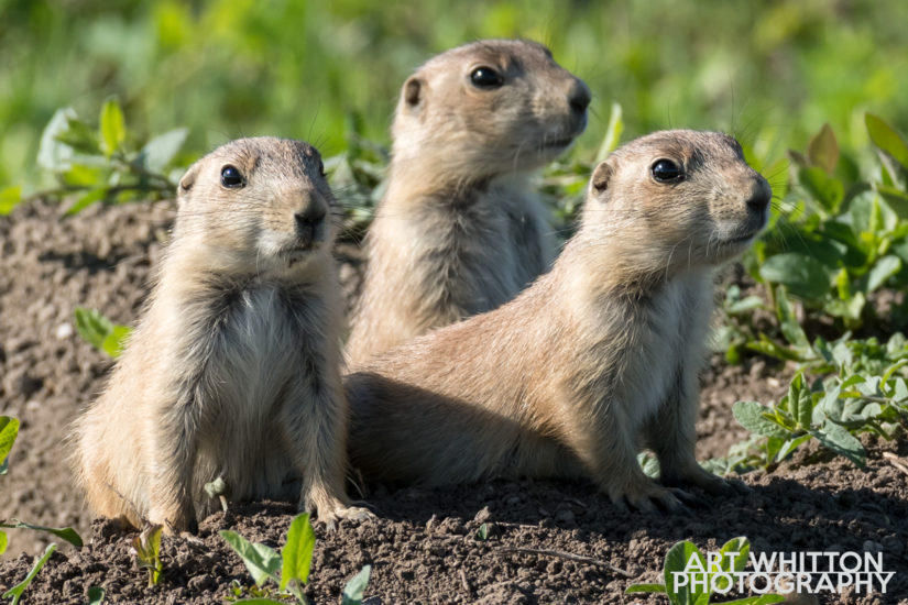 Photographing Badlands National Park Prairie Dogs
