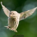2018-Backyard-Birds-018-_AJW7538