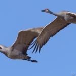 cranes in flight 07