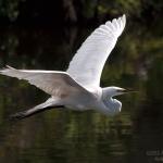 egret-in-flight