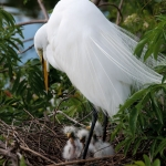 egret-with-chicks