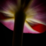 Red Tulip 01
