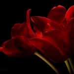 Red Tulips 09