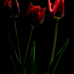 Red tulips - Light painting