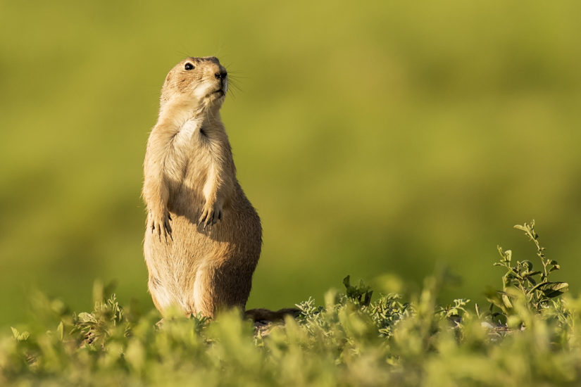 Photographing Badlands National Park Prairie Dog