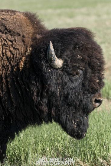 Photographing Badlands National Park Bison