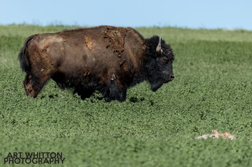 Photographing Badlands National Park Wildlife