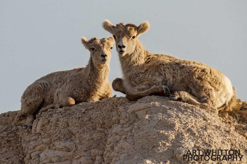 Photographing Badlands National Park Mountain Sheep
